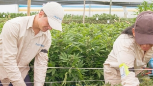 PharmaCielo Medical Marijuana Greenhouse in Rionegro, Antioquia